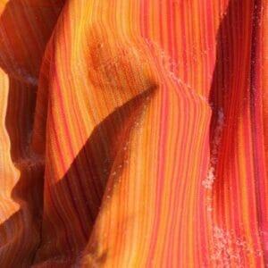 Girasol Firework rot